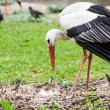Mother stork feeding its youngs — Stock Photo