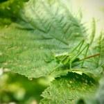 Grasshoppers on green foliage. locust — Stock Photo