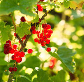 Thickets of red currants — Stock Photo