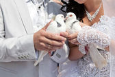 Wedding pigeons in hands of the groom and the bride — Stock Photo