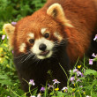 Red panda close-up — Stock Photo