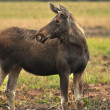 Moose — Stock Photo #11671500