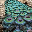 Peacock — Stock Photo #11952155