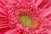 Pink gerbera flower — Stock Photo