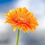 Orange gerbera daisy flower — Stock Photo #11600928