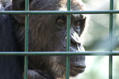 Monkey in captivity — Stock Photo
