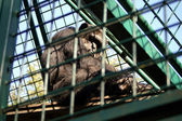 Afircan monkey — Stock Photo