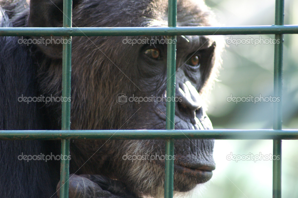 An African monkey in captivity at the zoo — Stock Photo #11049093
