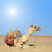 Camel sits — Stock Photo