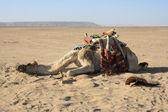 исчерпаны верблюд, потребности отдыха — Стоковое фото