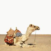 Camel sits — Stock Photo
