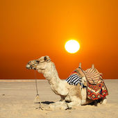 Camel sits — Foto Stock
