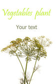 Vegetables plant.Fennel — Photo