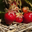 Bunch of ripe strawberries hanging on the plant -  