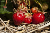 Bunch of ripe strawberries hanging on the plant — Stock Photo