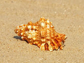 Seashell on sandy beach.Closeup. — Stock Photo