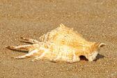 Conch shell on summer sandy beach. — Stock Photo