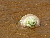 Nacreous seashell in sea wave. — Stock Photo