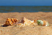 Three conch shells on a beach. — Stock Photo