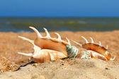 Three seashels on a beach. — Stock Photo