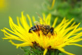 Bee on a yellow flower. — Stock Photo