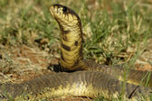 "Snouted cobra (""Naja annullifera"") — Stock Photo"