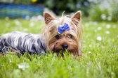 Yorkshire terrier dog with ribbon — Stock Photo