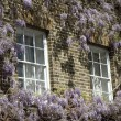 Wisteria — Stock Photo #10870018