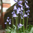 Bluebell flowers — Stock Photo