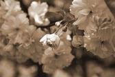 Flores de cerezo Kanzan — Foto de Stock