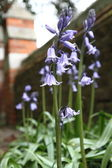 Bluebell flowers — Stock Photo