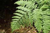Fern plant — Stock Photo