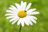 Coccinelle sur une marguerite — Photo