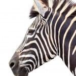 Male zebra head isolated — Stock Photo #10773367