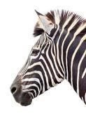 Male zebra head isolated — Stock Photo