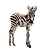 Young zebra isolated — Stock Photo