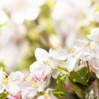 Blossoming apple in spring with very shallow focus — Stock Photo