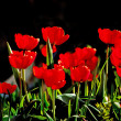 Beautiful red tulips against dark backgroung — Stock Photo