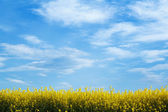Yellow field with blue sky — Stock Photo