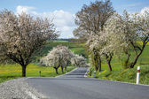 Road with alley of cherry trees in bloom — Stock Photo