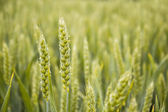 Detalhe dos grãos verdes orgânicos — Fotografia Stock