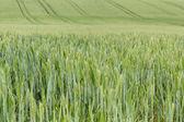 Field of organic green grains — Stock Photo