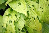 Leaves eaten by slugs — Stock Photo