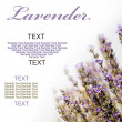 Lavender — Stock Photo #11390412
