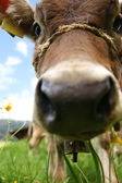 Ein neugieriges Kalb - A curious calf — Stock Photo