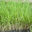 Green rice plants — Stock Photo