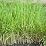 Green rice plants — Stock Photo
