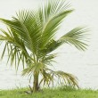 Coconut plant — Stock Photo