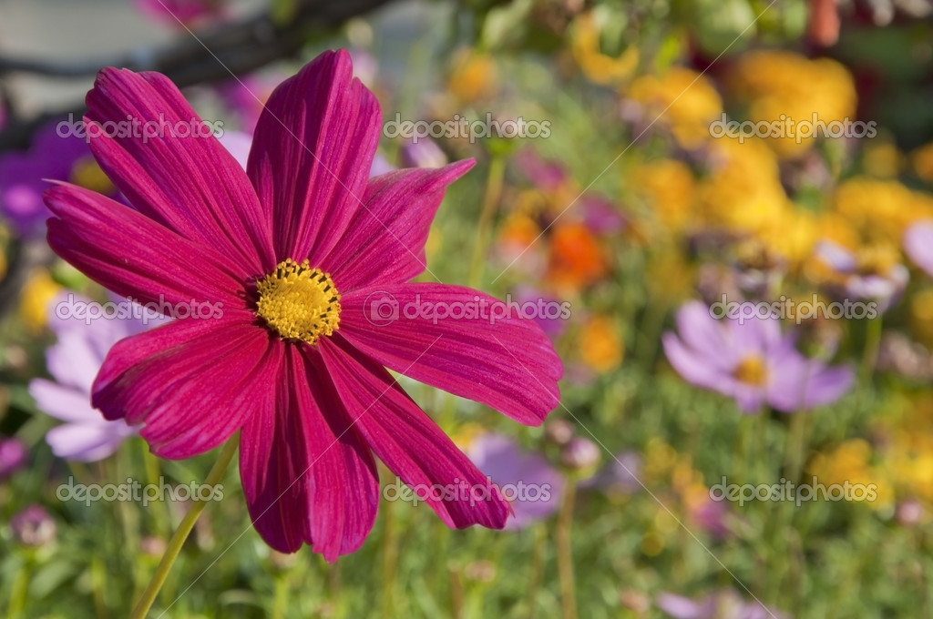 Blossom pink flower in a sunlight day  Stock Photo #11189312