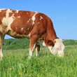 The calf on a summer pasture — Stock Photo